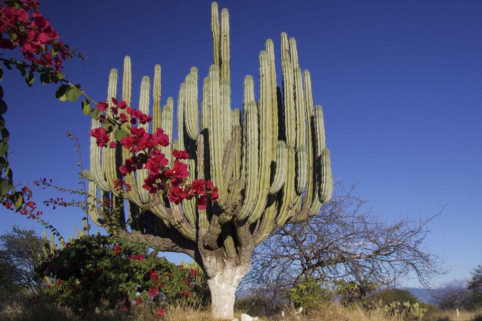 Kandelaber Kakteen in Mexiko