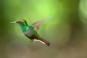 Grüner Kolibri