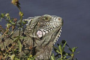 Imposanter Leguan