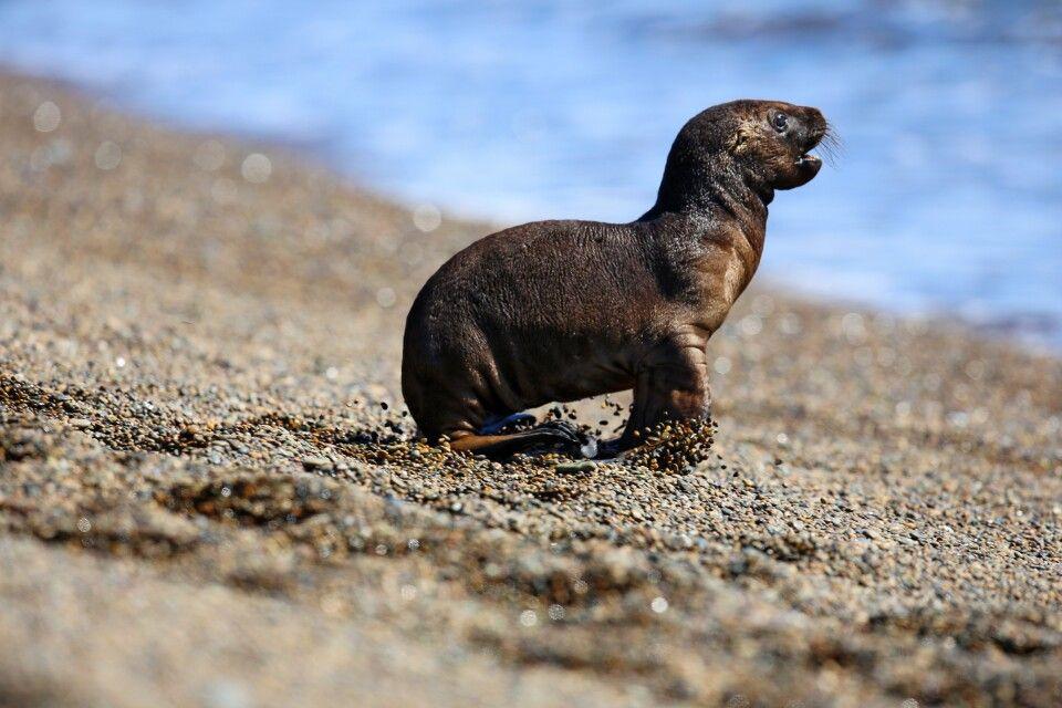 Junger Seelöwe, Valdes