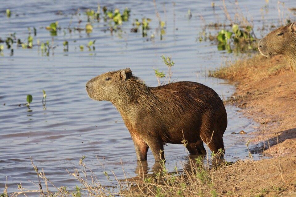 Wasserschwein in den Llanos