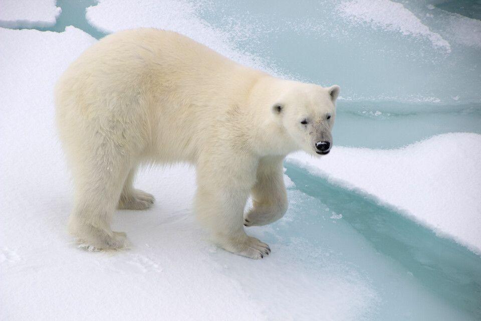 Die junge Eisbärin wandert um das Schiff herum