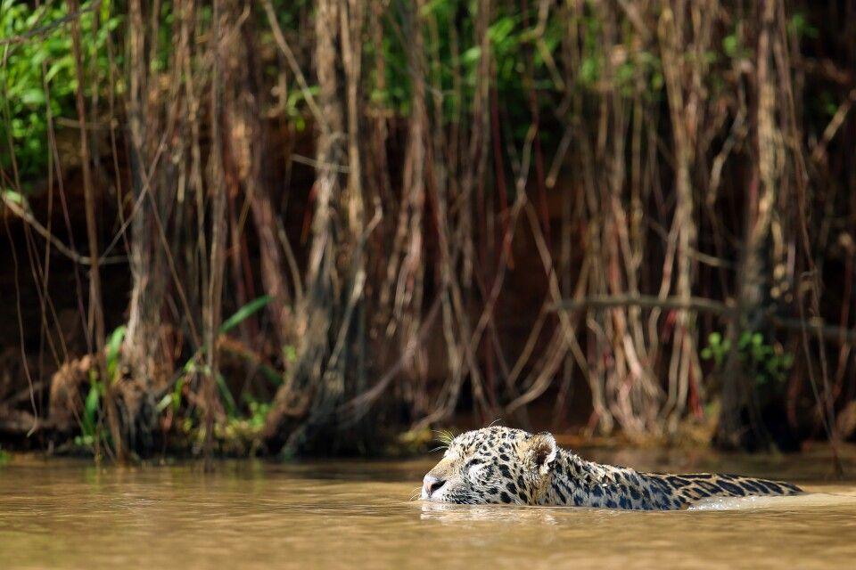 Schwimmender Jaguar im Nordpantanal