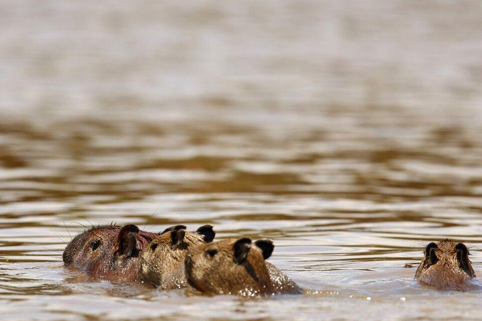 Schwimmende Wasserschweine (Hydrochoerus hydrochaeris) aus der Familie der Meerschweinchen