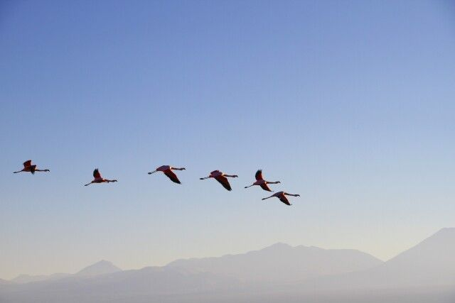 Fliegende Flamingos