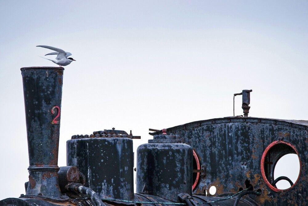 Küstenseeschwalbe auf der historischen Lok in Ny Alesund