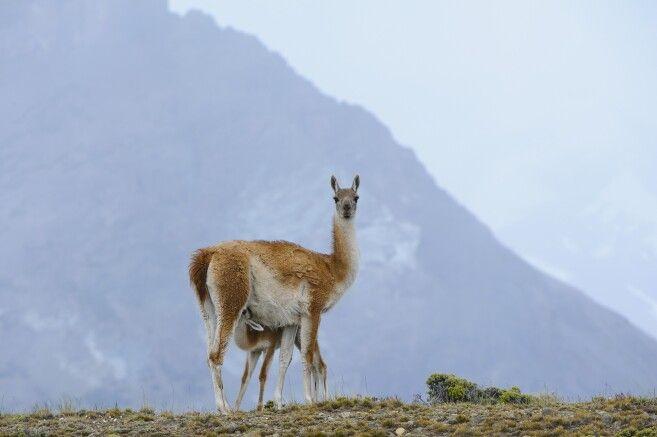 Guanako im Nationalpark Perito Moreno
