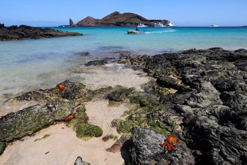 Rote Klippenkrabben auf Galapagos
