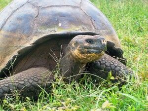 Riesenschildkröte auf Santa Cruz