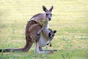 Känguru mit Baby
