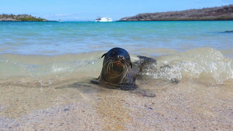 Kleine Galapagos-Robbe am Strand © Diamir