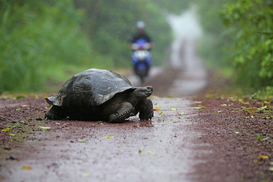 Achtung Riesenschildkröte hat Vorfahrt