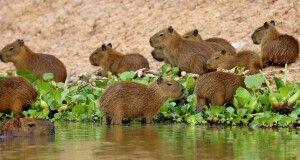 Wasserschweine