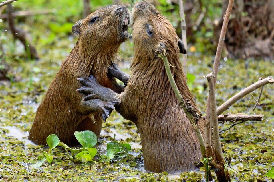 Kämpfende Wasserschweine