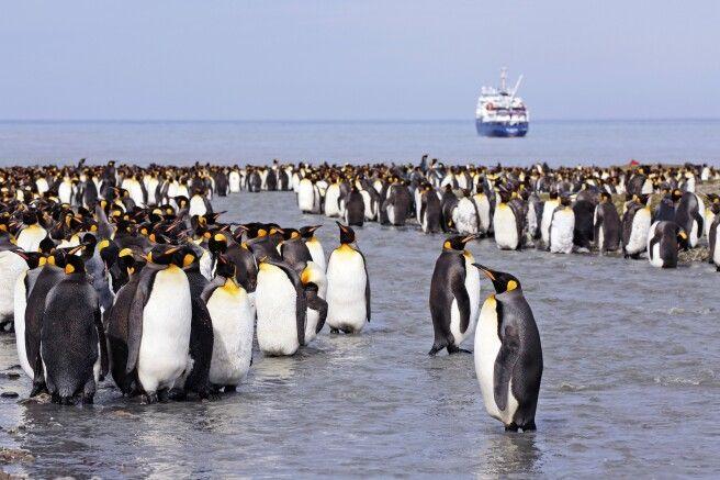 Pinguine in Südgeorgien