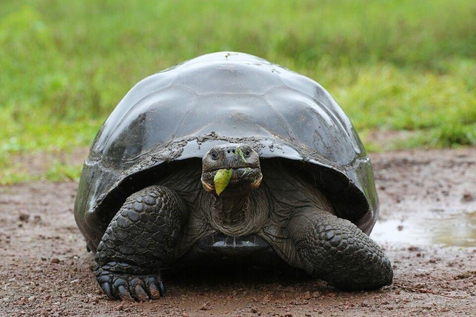 Riesenschildkröte im Anmarsch