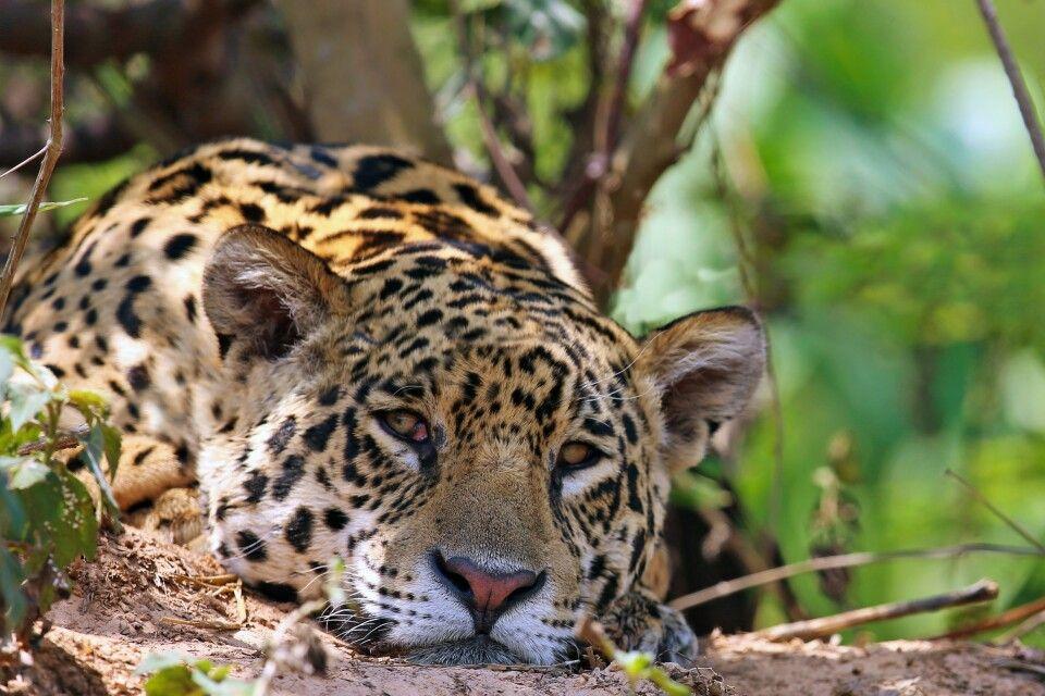 Der majestätische Jaguar bei einer Siesta